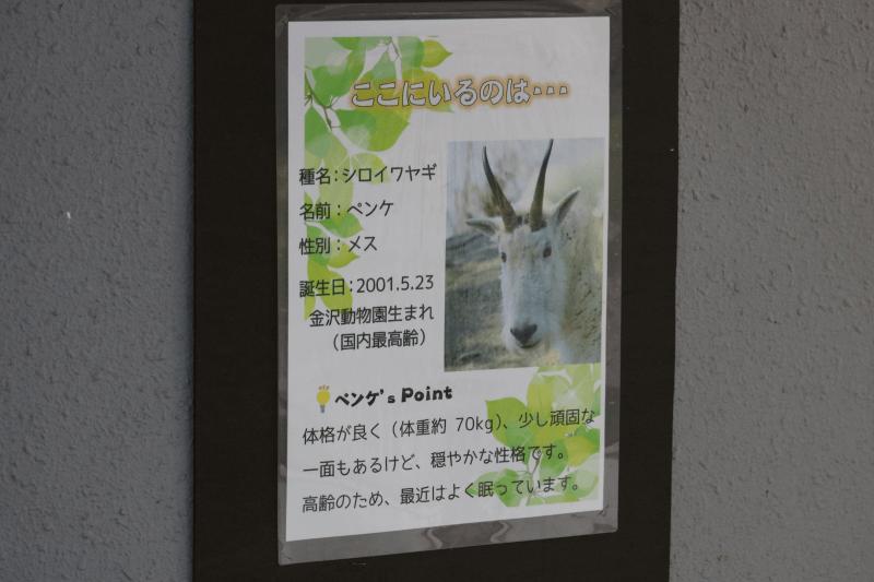 金沢動物園のシロイワヤギで名前はペンケです