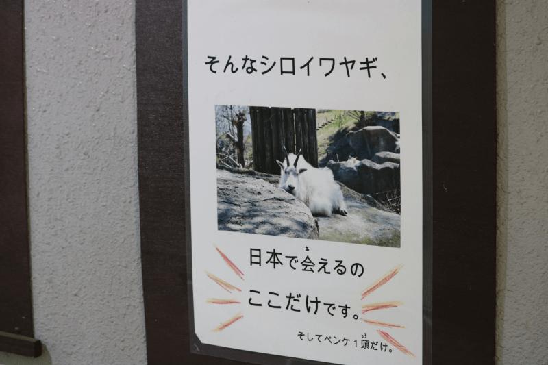 シロイワヤギのペンケに会えるのは金沢動物園だけ