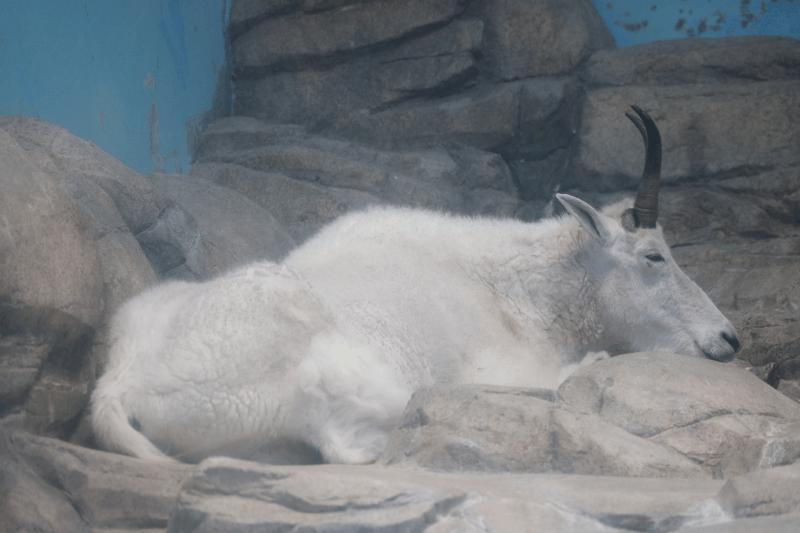 金沢動物園のクーラー部屋で涼んでいるシロイワヤギのペンケ