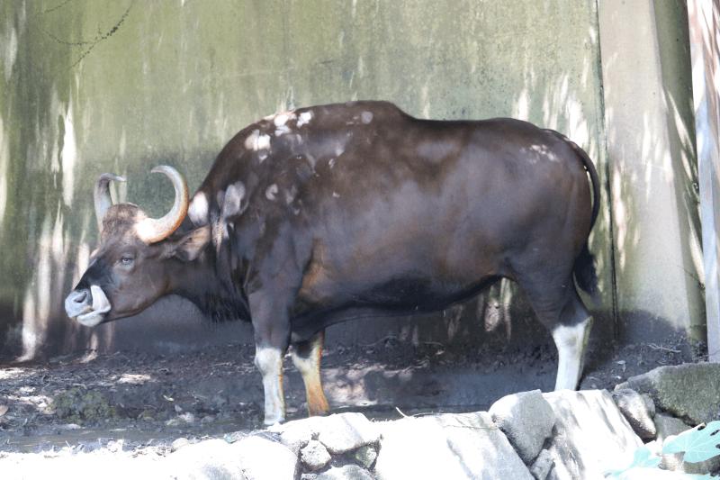 金沢動物園のガウルは牛の仲間では世界最大級です