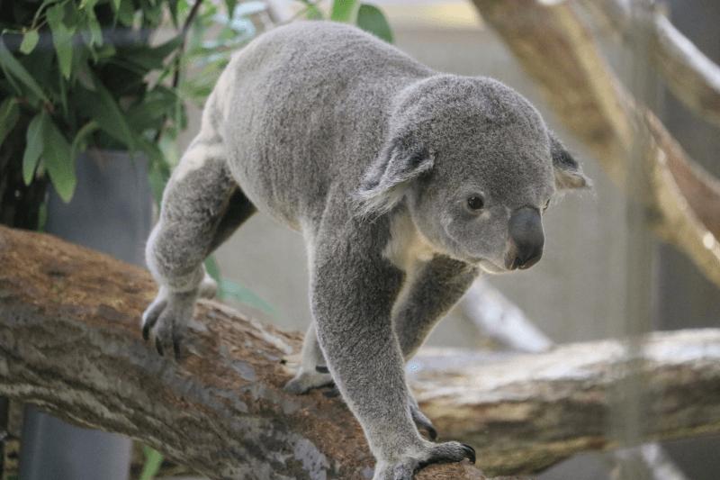 金沢動物園のコアラが起きて動いている様子