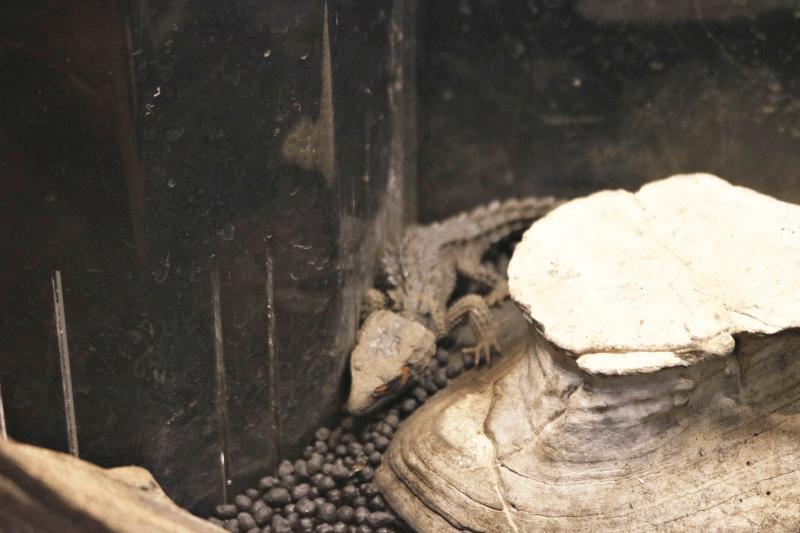 アカメカブトトカゲ