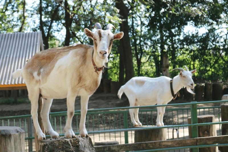 むさしの村「ふれあい牧場」ヤギ