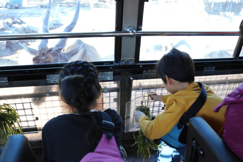 群馬サファリパークのエランドにエサやり体験バスからエサをあげているところ