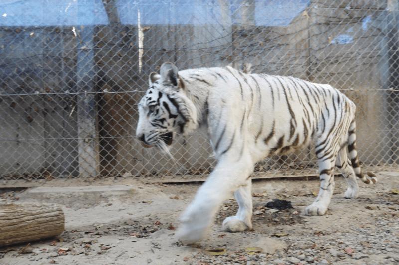 群馬サファリパークのホワイトタイガー