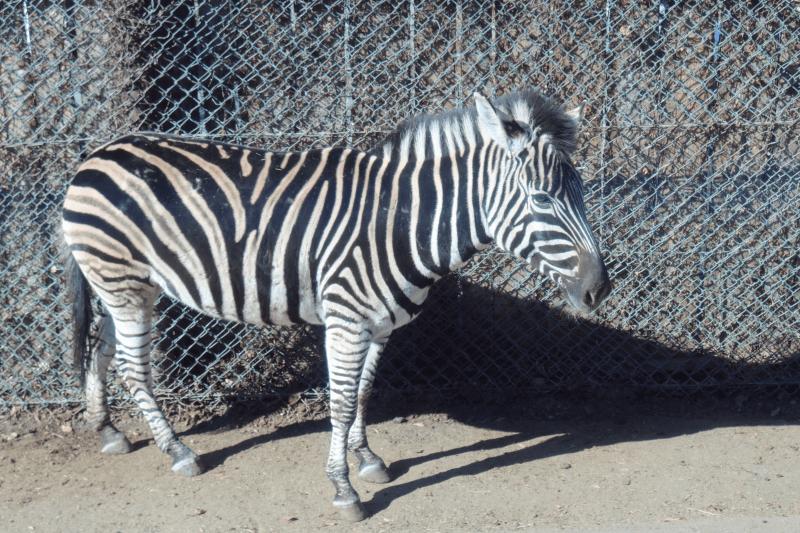 群馬サファリパークのチャップマンシマウマ