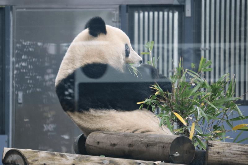 上野動物園のパンダ(シャンシャン)