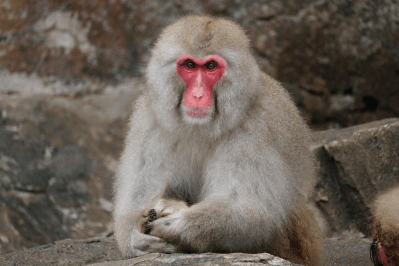 上野動物園のニホンザル