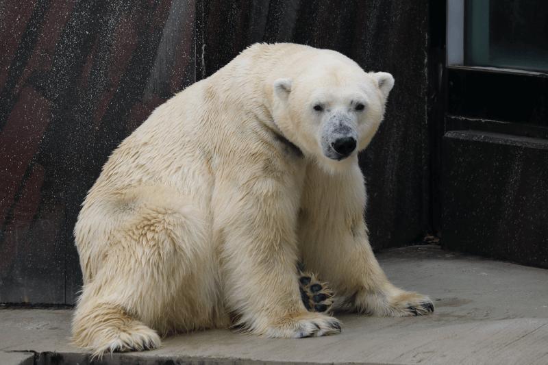 上野動物園のホッキョクグマ(しろくま)