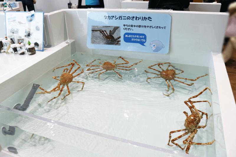 アクアワールドのタッチングプールでふれあい体験 タカアシガニ